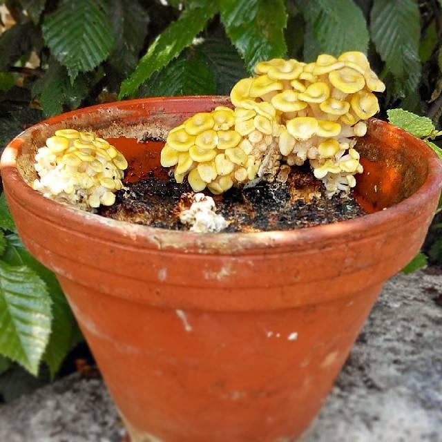 Pilzpaket Der Zitronenseitling wird Limonenpilz oder Limonenseitlinge genannt