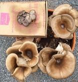 Pilzpaket Pilzbrut Florida Austernpilze zur Herstellung von eigenem Pilzsubstrat