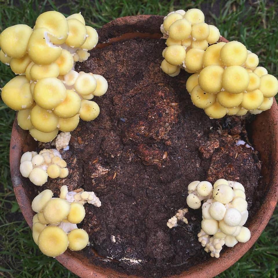 Pilzpaket Pilzbrut Zitronenseitlinge zur Herstellung von eigenem PIlzsubstrat