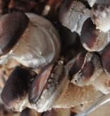 Pilzpaket Pilzpaket Blumentopf Pilzzuchtset  Shiitake (Shii-Take)