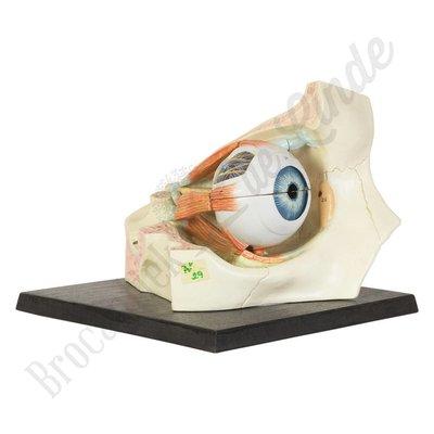 Anatomisch model oog