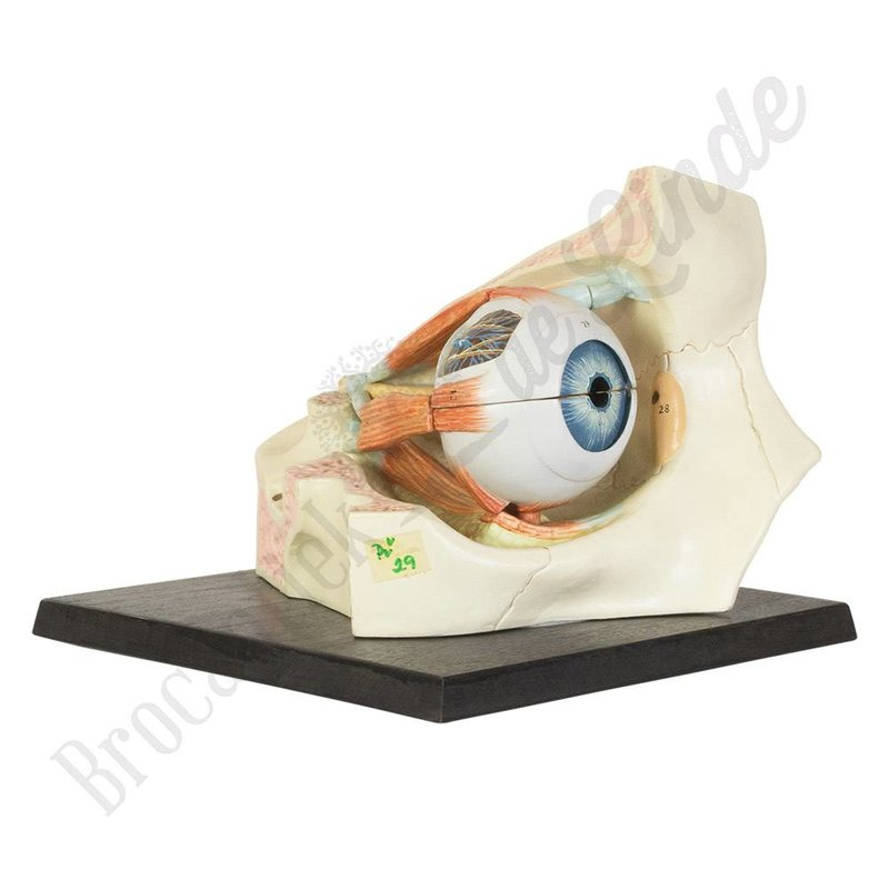 Antiek anatomisch model oog