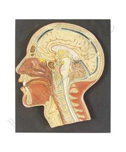 Anatomisch model hoofd Nr. 2