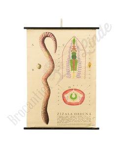 Oude schoolplaat worm