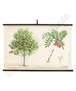 Botanische schoolplaat lijsterbes