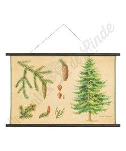Botanische schoolplaat fijnspar