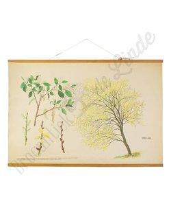 Botanische schoolplaat boswilg
