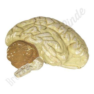 Anatomisch model hersenen Nr. 2