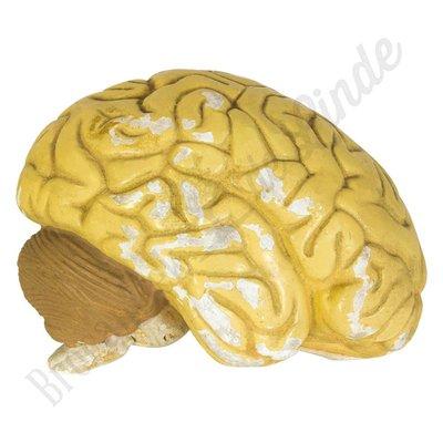 Anatomisch model hersenen Nr. 4