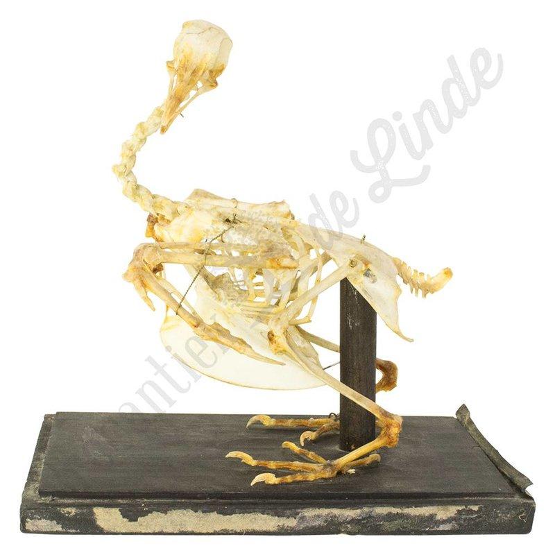Antiek opgezet skelet van een kip