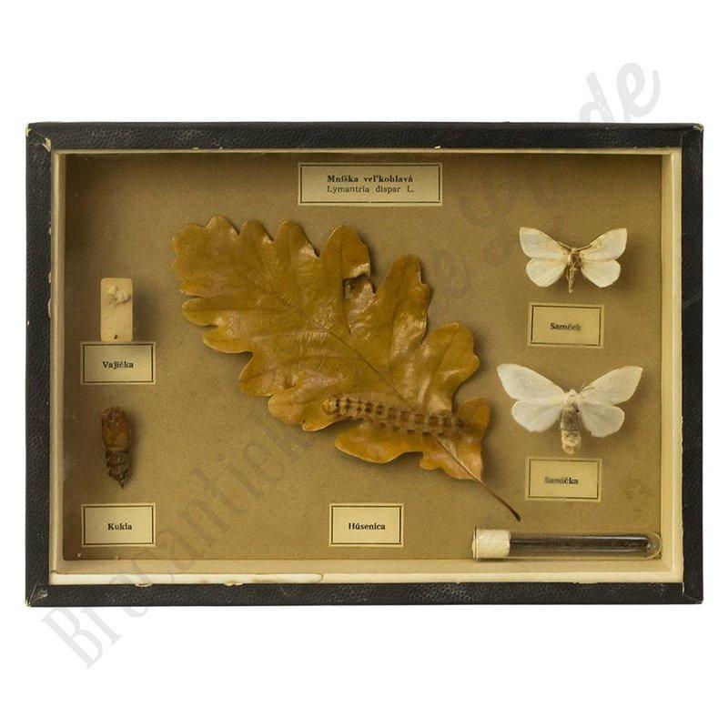Vlinderlijst vlindersoort 'Lymantria dispar'- No. 19