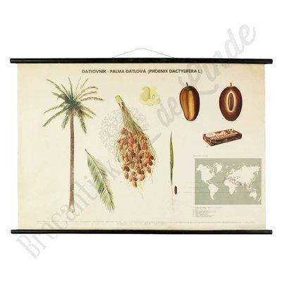 Oude botanische schoolplaat palmboom