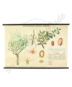 Botanische schoolplaat Amandelboom