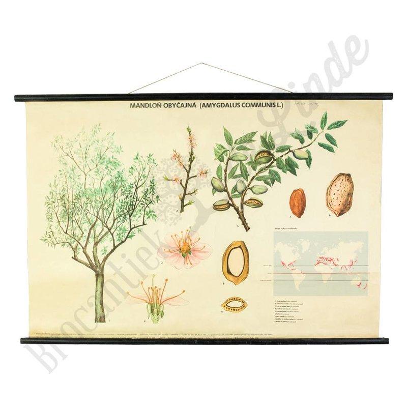 Botanische schoolplaat Almond