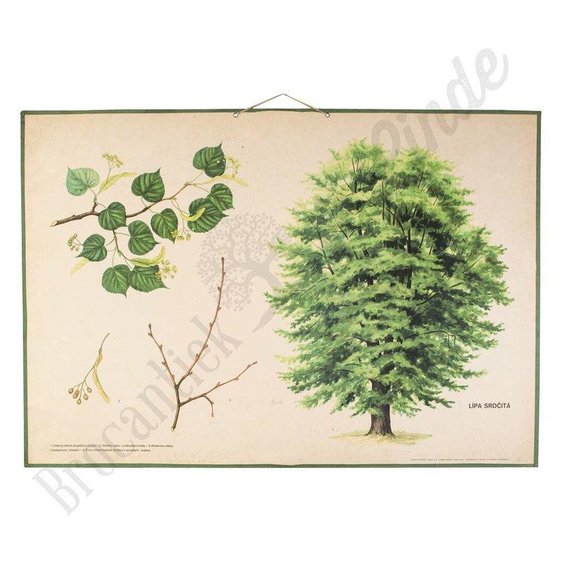 Botanische schoolplaat Tilia Cordata