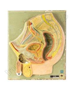 Anatomisch model geslachtsorgaan
