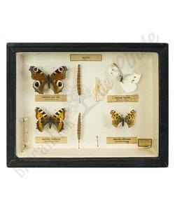 Vlinderlijst ''No. 35''