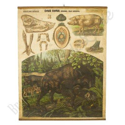 Vintage schoolplaat 'Wild zwijn'