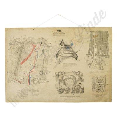Anatomische schoolplaat XXIV