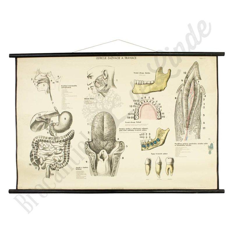 Anatomische schoolplaat 'spijsverteringsstelsel'