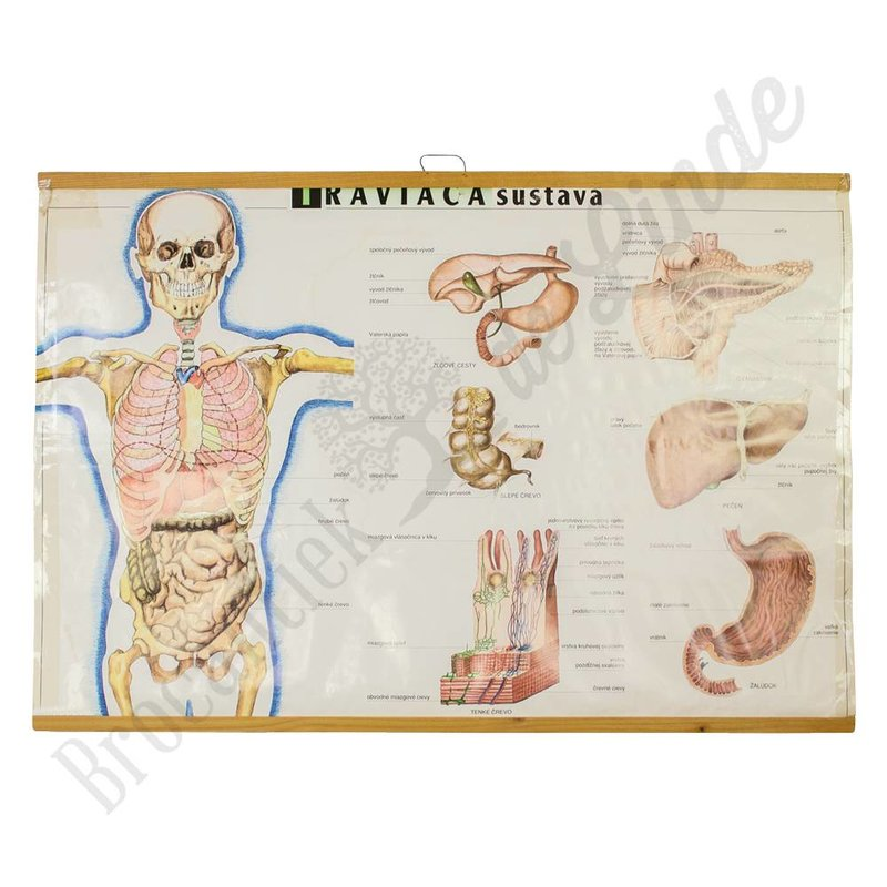 Anatomische schoolplaat ' voedingsysteem'
