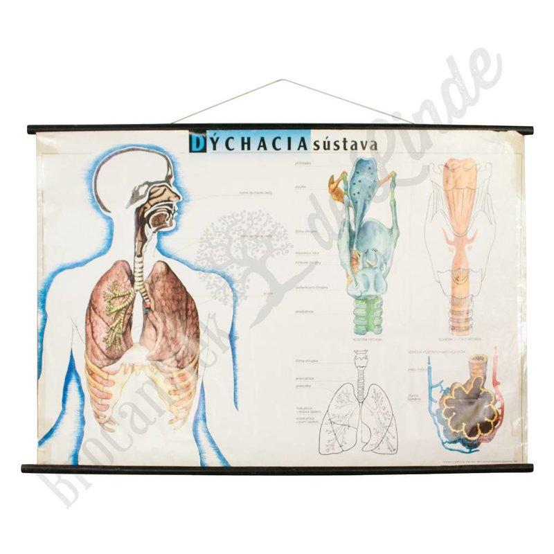 Anatomische schoolplaat ' longen'