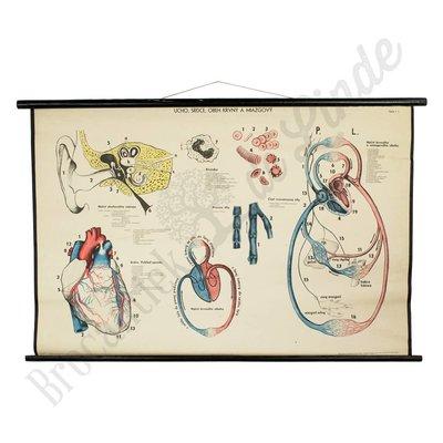 Oude anatomische schoolplaat