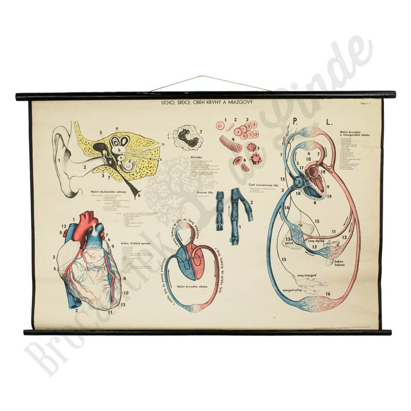 Oude anatomische schoolplaat 'Hart' No. 1