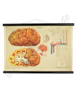 Anatomische schoolplaat