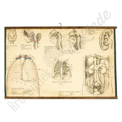 Vintage anatomische schoolplaat