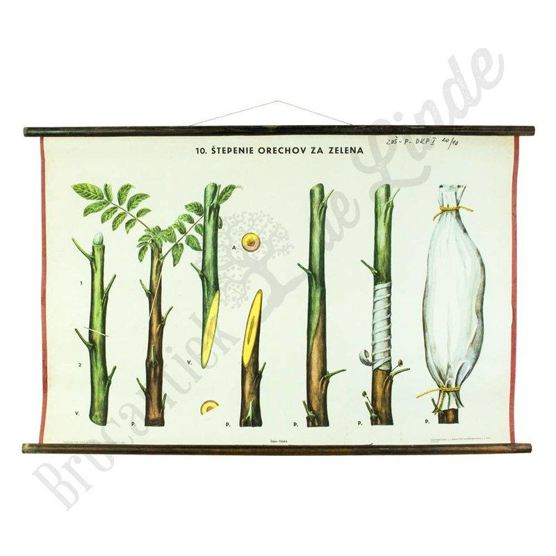 Botanische schoolplaat enten No. 10