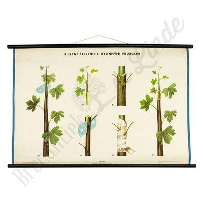 Botanische schoolplaat enten No. 9