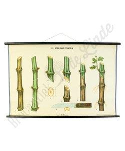 Botanische schoolplaat 'wijnstok'