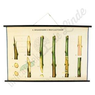 Botanische schoolplaat enten No. 2