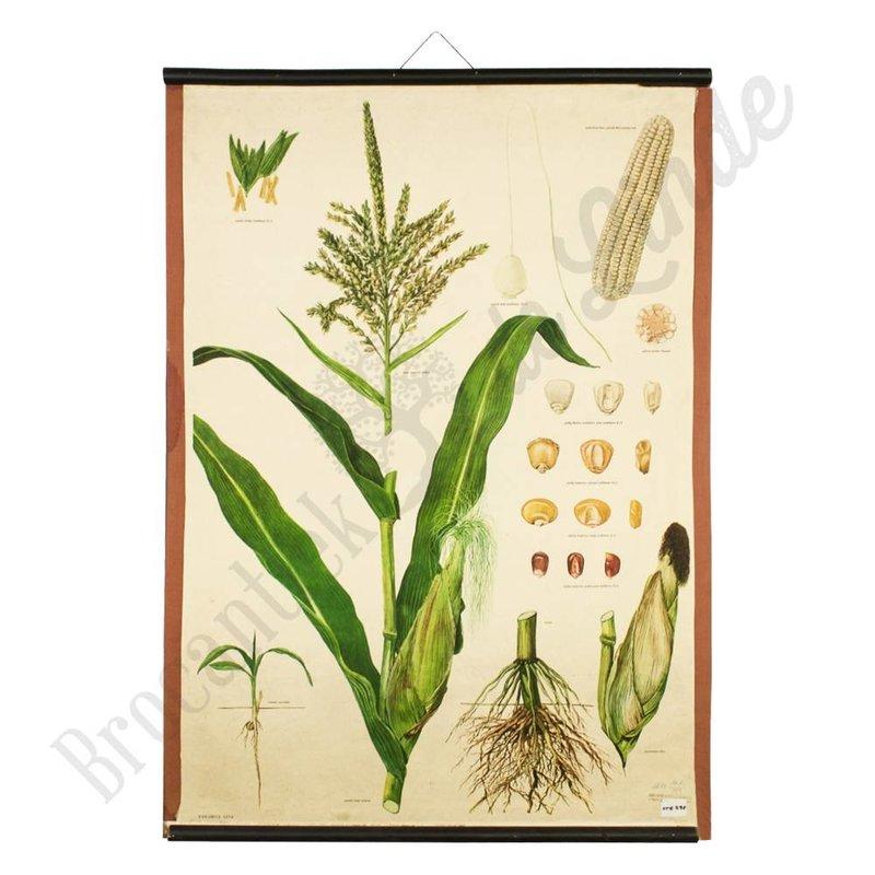 Oude botanische schoolplaat 'Mais'
