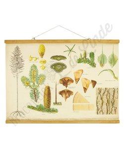 Botanische schoolplaat 'Den'