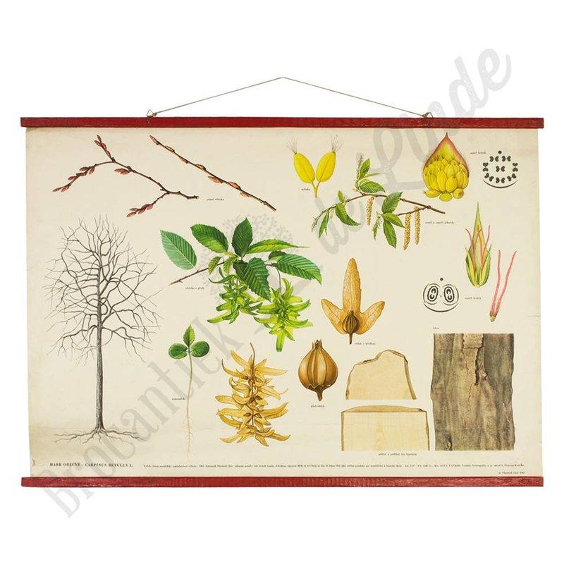 Botanische schoolplaat Haagbeuk