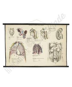 Anatomische schoolplaat Human