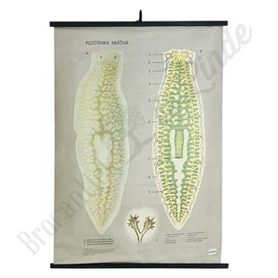 Botanische schoolplaat ' Melkwitte platworm'