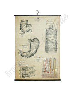 Anatomische schoolplaat 'Maag XIII'