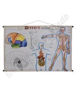 Anatomische schoolplaat zenuwstelsel