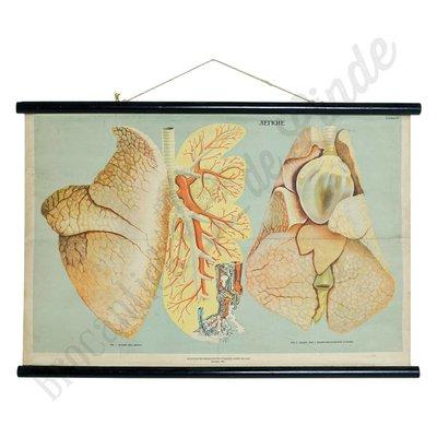 Anatomische schoolplaat 'Longen No. 1'
