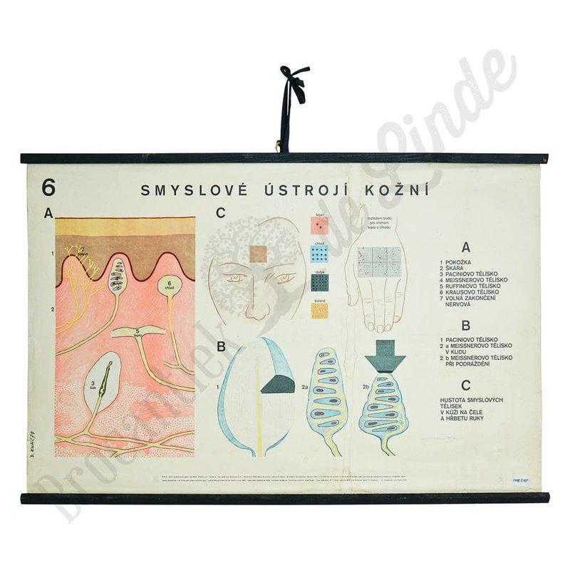 Anatomische schoolplaat zintuigen No. 6