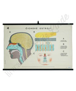Anatomische schoolplaat reuk No. 4