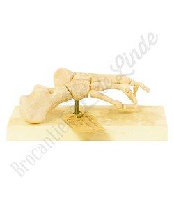 Anatomisch model 'Skelet voet'