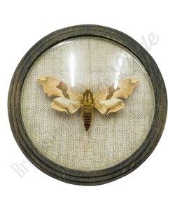 Vlinder uit 1880 No. 3