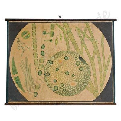 Schoolplaat cellen zoetwatervis