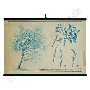 Botanische schoolplaat 'Wilg'