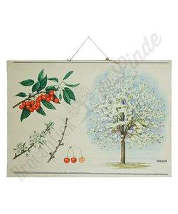 Botanische schoolplaat 'Kersen'