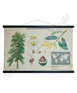Botanische schoolplaat 'Paranoot'